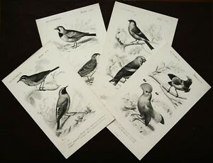 1849 Set of 4 Antique Lithographs BIRDS. SONGBIRDS. ORNITHOLOGY. 171 years old.