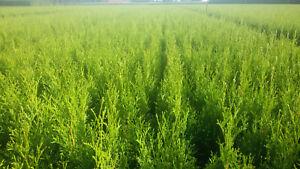 Sonderpreis 50-60 cm 2l Thuja occ.Smaragd  Lebensbaum wie Zypressen Hecke