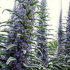 Echium pininana Blue Steeple Tower of Jewels palm tree-like rosette   20 Seeds