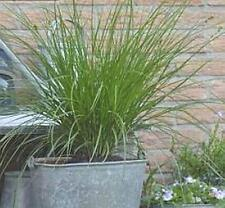 Ornamental Grass Seed - Carex Trifida Seeds