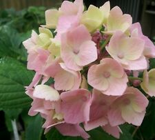 Hydrangea macrophylla 12 plants Mopheads lacecaps all colours potted Hydrangeas