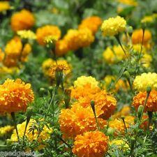 Marigold, Crackerjack Mix Heirloom Seeds - Non-Gmo -Untreated - Open Pollinated!