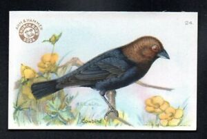 COWBIRD 1922 3RD SERIES small ARM & HAMMER USEFUL BIRDS OF AMERICA #24 EXMT/NM