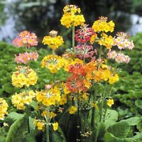 Kings Seeds - Primula Candelabra Mixed - 75 Seeds