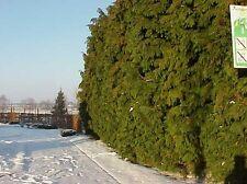 Rápido crecimiento heddge-chamaecyparis Lawsonia 50 Semillas