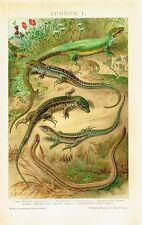 Reptile 1902 - Sand Slow worm snake Green lizard grass Eurasia - antique print