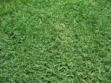 Bermuda Grass Seed, Hulled and Coated, (1 Lb. Pack), Drought Tolerant Lawn Seed