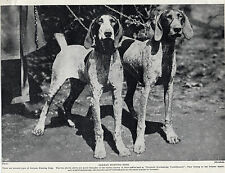 GERMAN SHORTHAIRED POINTER DOGS OLD ORIGINAL DOG PRINT FROM 1934