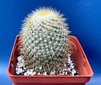 "MAMMILLARIA DIXANTHOCENTRON IN A 4"" POT, SEED GROWN CACTUS PLANT, #1596"