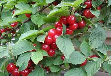 Koreakirsche,Filzkirsche,Nanking Kirsche,Вишня войлочная,Prunus Tomentosa