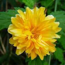 7 Golden Japanese Rose Kerria japonica 'Pleniflora' garden flower plant shrub