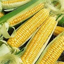 100 Seed Golden Bantam sweet corn seed new seed for 2017 Non-Gmo,Heirloom  Seeds