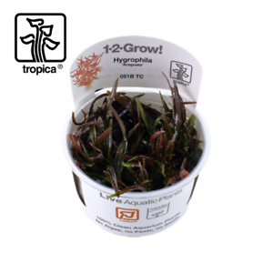 Tropica In-Vitro 1-2-Grow! Hygrophila Lancea 'Araguaia' Aquarium Plants Middle