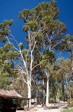 LEMON-SCENTED GUM (Corymbia citriodora) 50 seeds