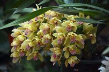 Cymbidium Orchid Seeds Bonsai Flower Seeds Orchid Seeds 100Pcs/Pack