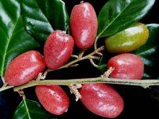 *UNCLE CHAN* 10 seeds Elaeagnus latifolia RAREfruit sour Acid shrub raw eat 2018