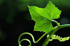 FreeShipping 300 seeds,Ivy Gourd, Coccinia grandis, Coccinia indica Easy to grow