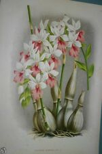 Lindenia Orchid Print Limited Edition Calanthe Regnieri Collectible Art Decor