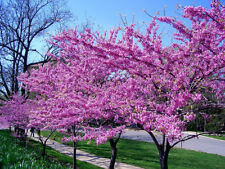 3 Live 2ft Redbud Trees, Gorgeous Pink Blooms, healthy 2-3 yr old tree