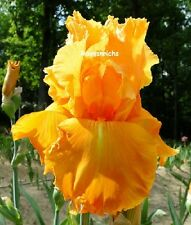 "Tall Bearded ""Orange Splash"" Iris - Intense Cadmium Orange '10 * Plant Pre-Sale"