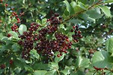 20 Black ChokeCherry Seeds Prunus Virginiana Choke cherry Schubert - BKSeeds