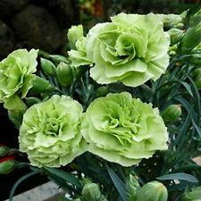 100 Carnation Green Dianthus Caryophyllus Flower Seeds Gardening Perennial Yard