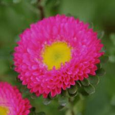 China Aster Seeds - MATSUMOTO ROSE -  Callistephus Chinensis  - 50 Seeds