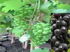 Weinrebe Vitis vinifera Lakemont kernlose Traube 60-80cm Beerengehölz R
