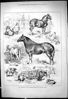 Old Antique Print Prize Winners Dunmow Cattle Poultry Show Animals 1878 19th