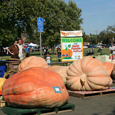 PUMPKIN Giant Atlantic Heirlom Seeds (V 410)