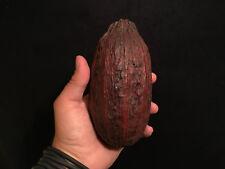 Cabosse de cacao Theobroma vide / Decoration / Cabinet de curiosités