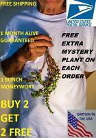 BUY2GET1FREE Bacopa Monnieri moneywort plants live aquarium plants planted tank