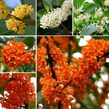 20Pcs Osmanthus fragrans Tree Seeds Rare Olive Shrub Bonsai Plants in Garden