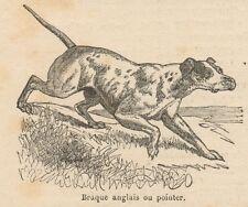 C8219 Braque anglais ou Pointer - Stampa antica - 1892 Engraving