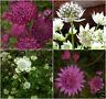 Astrantia Major seed - 4 varieties