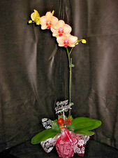 1 Budded/Blooming Phalaenopsis Orchid with Christmas Decor- X-MAS GIFT OF ALOHA