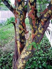 Pseudocydonia sinensis vaso 12x12