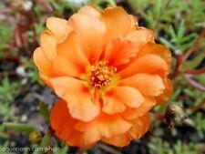 100 Orange Portulaca Moss Rose Portulaca Grandiflora Flower Seeds *Comb S/H