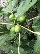 4 Heirloom Fig Tree Cuttings To Root (Green Ripe Figs) Italian Mediterranean