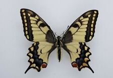 Papilio  machaon  - from Poland