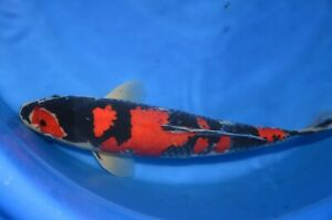 "16"" Goshiki  High Quality JAPANESE Koi live fish standard fin A1koi"