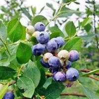 "4 Blueberry Plants Fruit ""Emerald"" Southern Highbush Four Plant Fruit Garden"