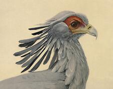 Fuertes Louis Secretary Bird Print 11 x 14   #4964