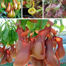 20Pcs Seeds Pitcher Plant Purpurea Foliage Carnivorous Shades Flower Garden New