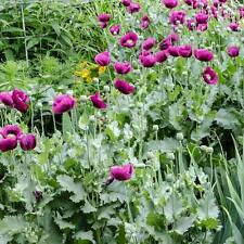 Poppy Laurens Grape - 200 Seeds - Papaver