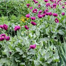 Poppy Laurens Grape - 200 Seeds - Papaver