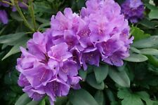 Seeds Rhododendron campanulatum Profusion of Lilac Flowers Zone 6+ or Container