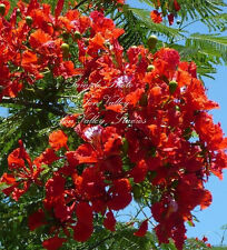 7 Seeds Flame Tree Stunning Red Flower clusters Indoor Tropical Delonix regia