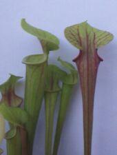 Pianta carnivora, incrocio di Sarracenia, PIANTA VIVA (taglia M) + guida