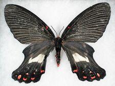 "New ListingInsect/Moth/ Moth ssp. - Female 4.5"""